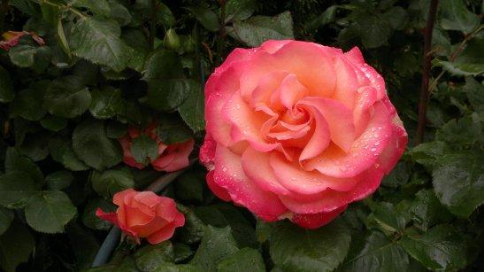 """n° 28 """"L'eau de la rose"""" titre provisoire Garennes Sur Eure - Bernard Sainrau"""