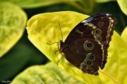 Cathy Gilbrin VERNEUIL SUR AVRE - Papillon de Jardin