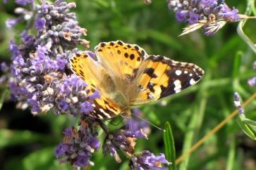 herbulot papillon v2